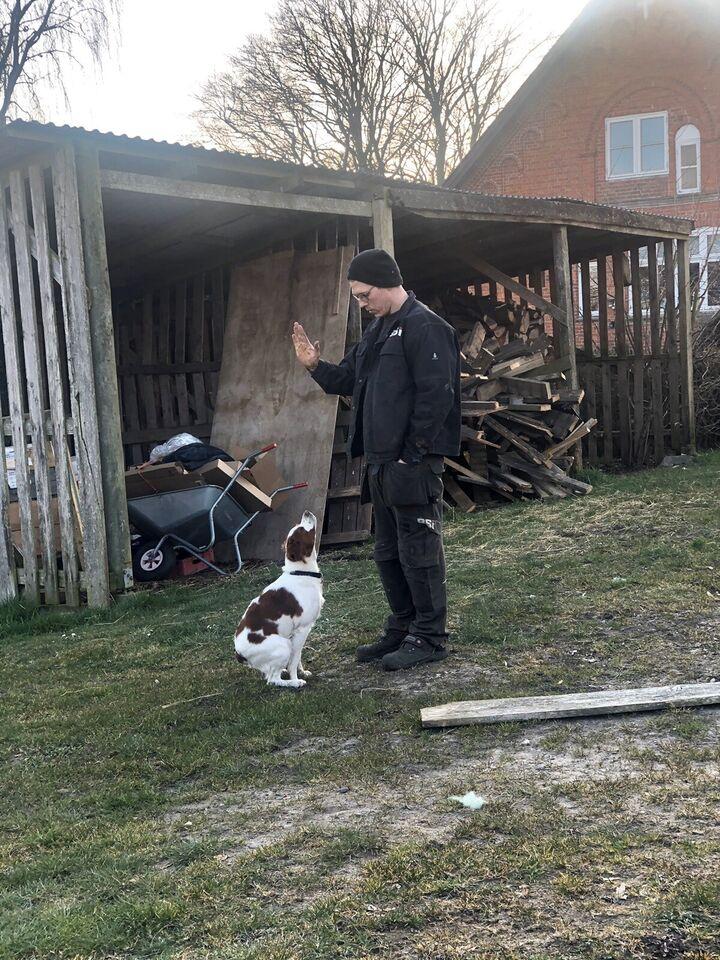 Breton, hund, 10 mdr.