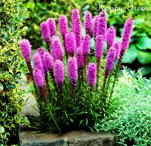 Gayfeather Rose Lavande 300 Graines Liatris Spicata Vivace Fleur