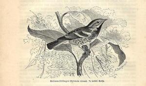 Diplomatique Stampa Antica Uccello Parula Verde Golanera Setophaga 1891 Old Antique Print Pour AméLiorer La Circulation Sanguine