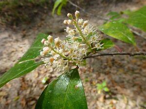 Cherry-Laurel-Seedlings-Prunus-caroliniana-10-Bare-Root-Seedlings