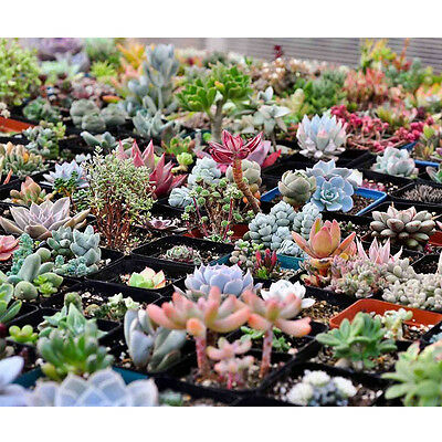 Fun 100PCS Seeds Mixed Succulents Seeds Rare Succulent Potted Plant Home Decor