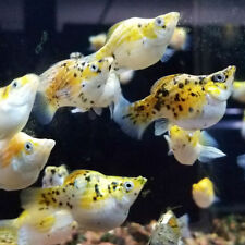"""x10 CALICO MOLLY FISH SM/MD 1"""" - 2""""  EACH - FRESHWATER FISH - FREE SHIPPING"""
