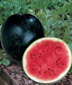 Black-Diamond-Sweet-WATERMELON-Heirloom-35-50lb-FRUIT-25-Seeds-Organic-NON-GMO