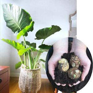 1-3 Géant éléphant Ampoule Super Large Tropical Leaf Plant Edoe Taro Cormus Fast Grow-afficher Le Titre D'origine Chaud Et Coupe-Vent