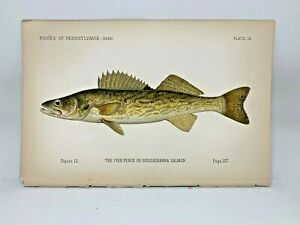 Scarce-First-Denton-Fish-Print-1889-Walleye-Pike-Perch-Original