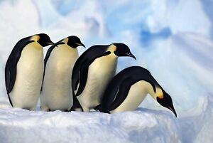 A1-Funny-Penguin-Poster-Art-Print-60-x-90cm-180gsm-Cute-Emperor-Penguins-8102