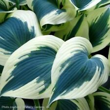 "hosta BLUE IVORY medium slug-resistant healthy 2.5"" pot ☆1 Live Potted Plant☆"