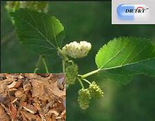 100g Sang Zhi (Ramulus Mori)dry herbs