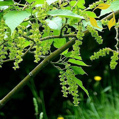 SNAKEBARK MAPLE Acer Grosseri 20,40 SEEDS