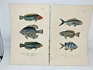 Original-Antique-Hand-Colored-Fish-Print-Lacepede1840-Plates-70-amp-78-Cuvier