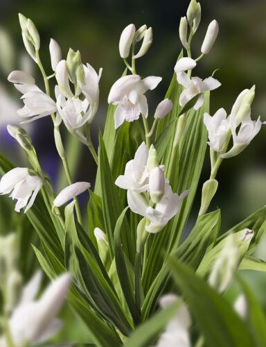 weiße Gartenorchidee Bletilla striata /'Alba/' Winterharte Pflanze im Topf