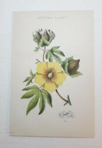 Original 1870s Lithograph. COTTON PLANT. Beautiful Condition.