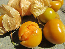 20 Seeds Aunt Molly's Ground Cherry ORGANIC Cape gooseberry Husk  Tomatillo