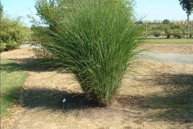Miscanthus sinensis Gracillimus MAIDEN GRASS Seeds!