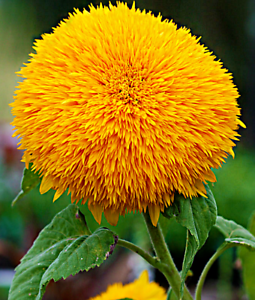 20PCS Bear Sunflowers Seeds Bonsai Plant House Herb Garden Flower Tree Pot Decor