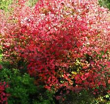 Cercidiphyllum japonicum - Japanese Katsura Tree in 9cm Pot Garden Bonsai