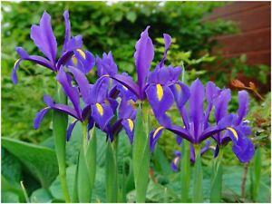 bulbe bleu printemps