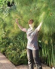 Papyrus... reinigt das Wasser im Brunnen , Aquarium, Teich  etc. // Samen