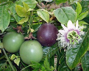 Maracuya-PASSIFLORA-EDULIS-8-Semillas-Flores-Fruta-Jardin-Garden-Fruit