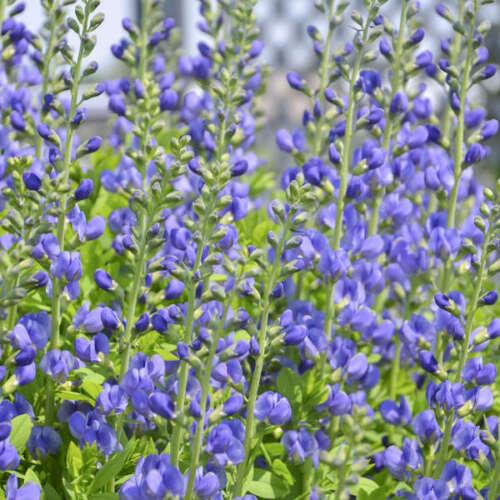 1 Gallon Container Plant Blue False Indigo- Native Baptisia australis