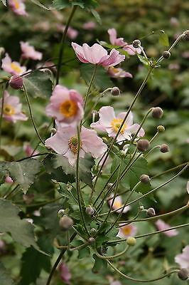"""Herbstannemone, Anemone japonica """"Septembercharm"""" ab1,95 Staffelpreise"""
