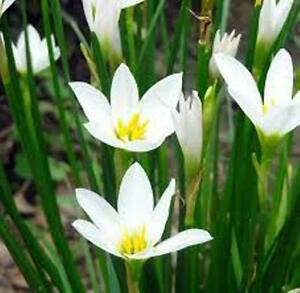 100 x rain lily zephyranthes candida autumn crocus white flowers image is loading 100 x rain lily zephyranthes candida autumn crocus mightylinksfo