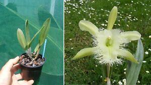 Rhyncholaelia-digbyana-Orchidee-Orchid