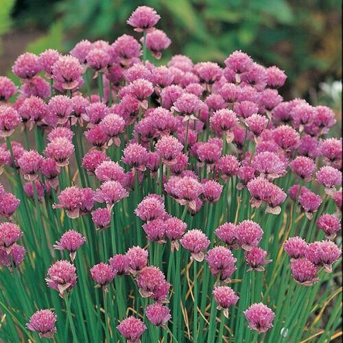UK Seller Medicinal Culinary CHIVES Allium SCHOENOPRASUM Chives Herb Seeds