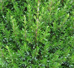 50 Samen Myrte (Myrtus communis), Brautmyrte, Gewürz