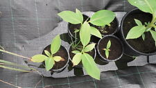 10 Semillas Platanero Musa Ornata (Flor Púrpura) seeds