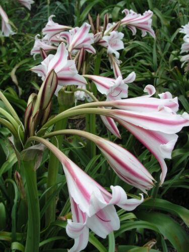 Herbertii /'Montgomery Nana/' medium-size bulb Crinum Lily