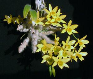 Rare-orchid-seedling-Bloom-size-Dendrobium-senile
