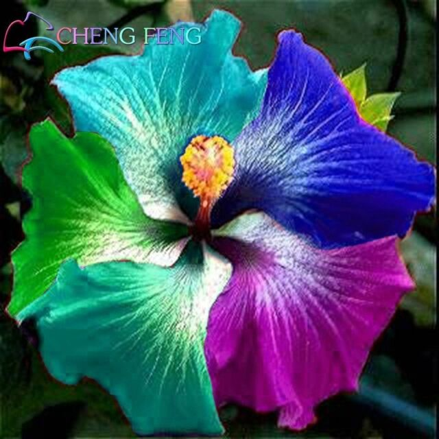Giant Rainbow Hibiscus Flower Seeds Chinese Diy Plant Hibiscus Seeds