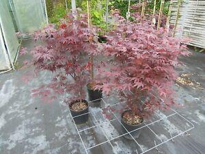 Acer-palmatum-Fireglow-120cm-Solitaer-roter-Faecherahorn-Samtahorn