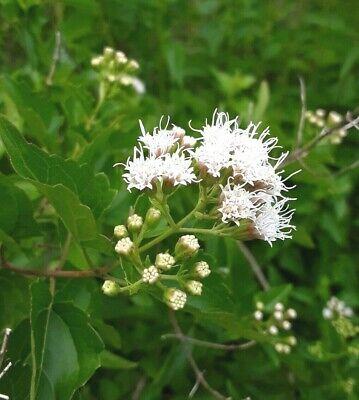 50 Seed Boneset Eupatorium Grass Flowers Beautiful Rare Sorts Bonsai Plants Home