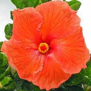 HAWAIIAN-ORANGE-HIBISCUS-PLANT-CUTTING-GROW-HAWAII