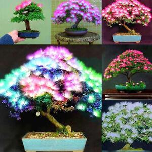 Am-20Pcs-Mixed-Albizia-Julibrissin-Acacia-Flower-Seed-Mimosa-Silk-Tree-Bonsai-P