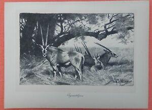 ObéIssant Oryxantilopen Oryx Antilopes Wilhelm Kuhnert Afrique Lithographie 1920-afficher Le Titre D'origine Le Plus Grand Confort