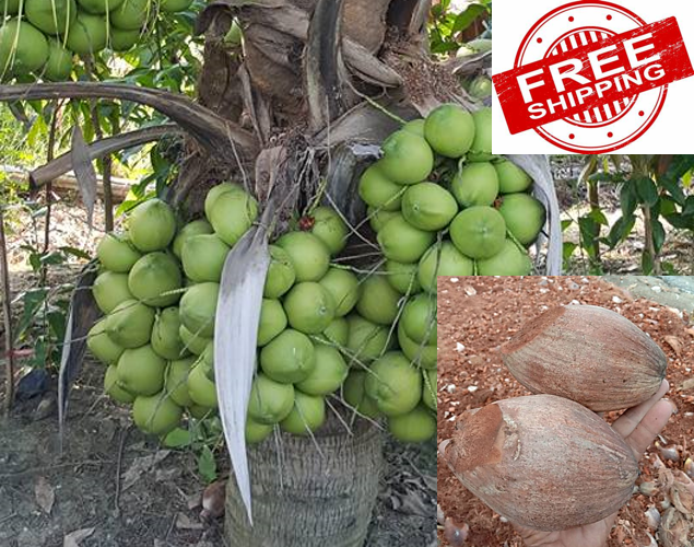 1 Coconut Dwarf Palm Tree seed with out shoot Tropical Fruit juice Fagrance