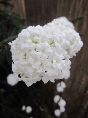Viburnum farreri candidissimum-Profumo valanga candidissimum