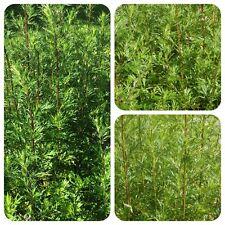 Artemisia Artemisia vulgaris MOXA räucherpflanze Portaspezie Beifuss moxibustion