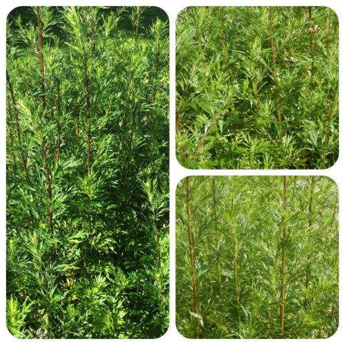 Beifuß Artemisia vulgaris Moxa Räucherpflanze Gewürz Beifuss Moxibustion