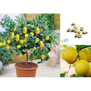 10pz semi di bonsai di limone limoni alberello bonsai ebay for Bonsai limone vendita
