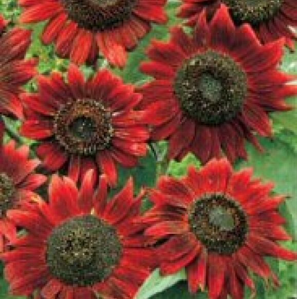 VELVET QUEEN SUNFLOWER 25 FRESH SEEDS FREE USA SHIPPING