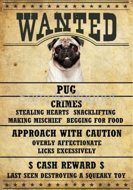 Chihuahua Wanted Poster Fridge Magnet No 1