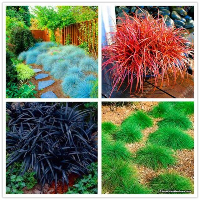 100Pcs Blue Fescue Grass Seeds Hardy Perennial Ornamental Easy Decor Grow Plants, Seeds & Bulbs