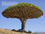 10pcs-Canary-Island-Dragon-Blood-Tree-seeds-bonsai-seed-Giant-Exotic-Tree-Fresh thumbnail 9