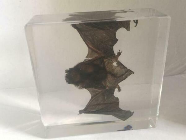 T-01 fashion base dead bat cool dome Paperweight Specimen
