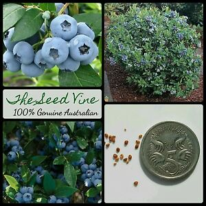 20-ORGANIC-BLUEBERRY-SEEDS-Vaccinium-corymbosum-HEIRLOOM-NON-GMO-Super-Food