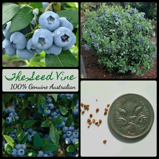50+ ORGANIC BLUEBERRY SEEDS (Vaccinium corymbosum) Highbush Edible Super Food